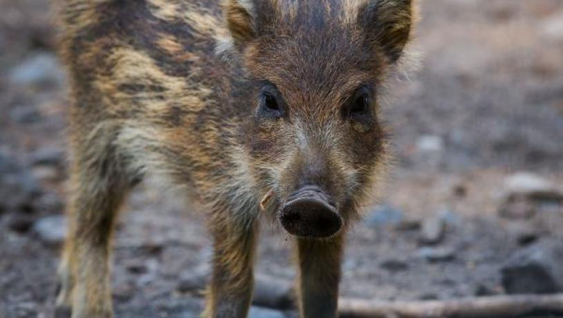 A young wild boar on a forest trail