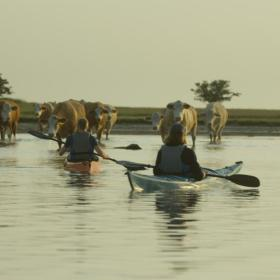 Cows and kayaks in Roskilde Fjord